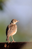 Ashy-crowned Sparrow-Lark (Female)