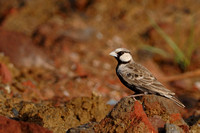 Ashy-crowned sparrow lark
