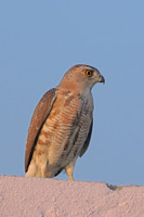 Shikra (Female)